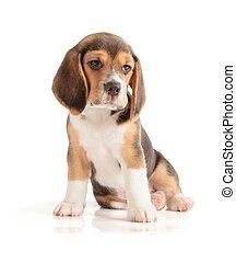 beagle, reizend, junger hund