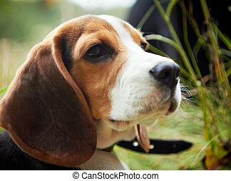 beagle, reizend, puppy.