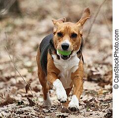 beagle, rennender , mit, osterei