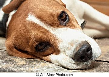 beagle, resting.
