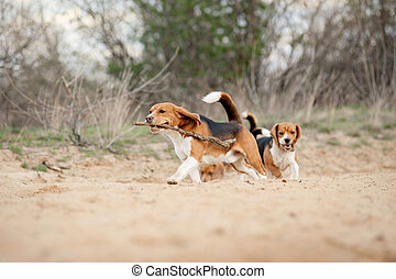 beagle, rigolote, courant, groupe, chien
