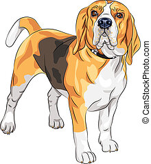 beagle, sérieux, race, vecteur, croquis, chien