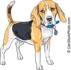 beagle, sério, raça, vetorial, esboço, cão