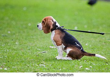beagle, sitzen, auf, grünes gras