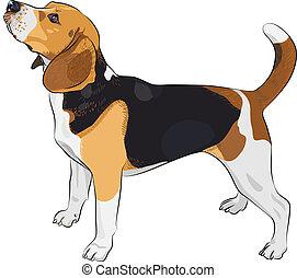 beagle, skiss, ras, hund, vektor