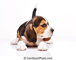 beagle, weißes, junger hund, hintergrund