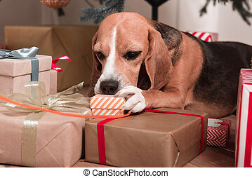 beagle with christmas gifts