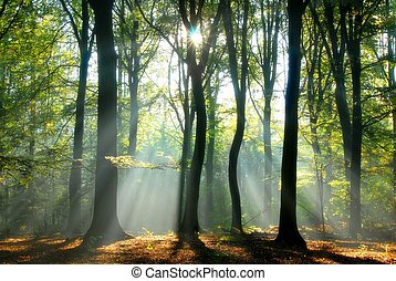 Beams of light pour through the trees - sunbeams pouring...