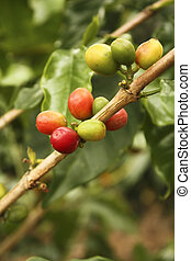 bean., café, colombiano, rojo