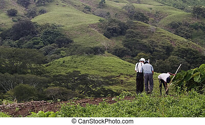 Bean Farmers on a Hillside. - Three bean farmes in a wide ...