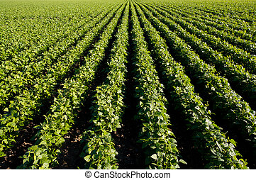 Long rows of bean plants in the early summer