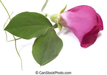bean. flower
