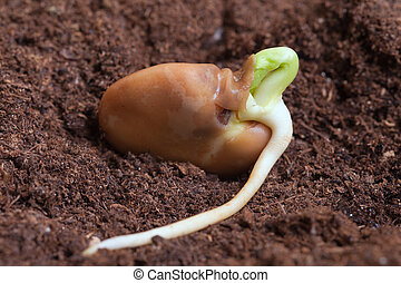 bean., germination