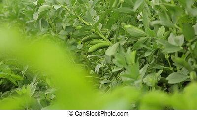 Bean growing in garden