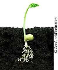Bean growing in soil