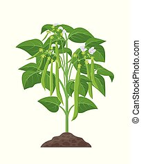Bean mature plant vector stock illustration in flat design. Beans growing from soil with green bean pods isolated on white background.