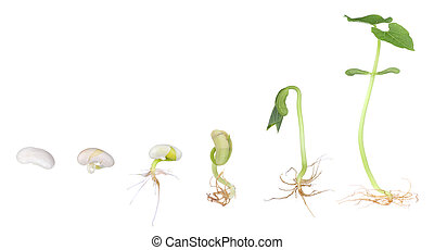 Bean plant growing from a seed to a seedling isolated on white