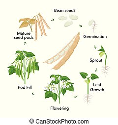 Bean plant growth stages infographic elements in flat...