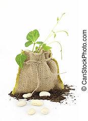 Bean plant in a burlap sack