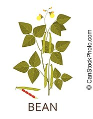 Bean plant with leaves, pods and flowers. Vector illustration.