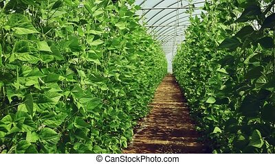 Bean plants grow in rows in a greenhouse closeup - Green ...