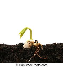 Bean seed germinating