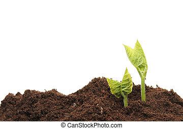 Bean seedlings - Two seedlings in soil against a white ...