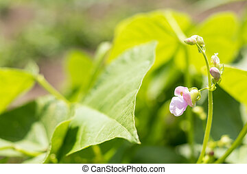Beans plants and flowers as very nice natural background....
