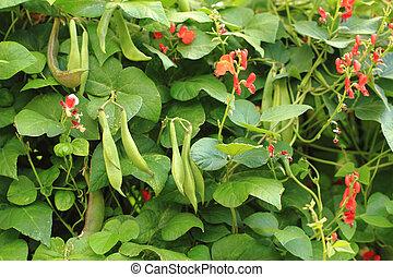 beans plants flowers