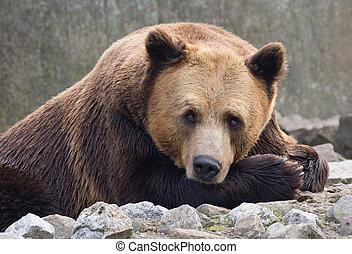 Bear - Brown bear resting on the rocks