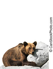 bear cools down on a stone isolated