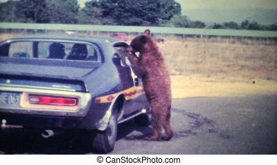 Bear Cub Eating Out Of Car-1979 - A curious young bear cub...