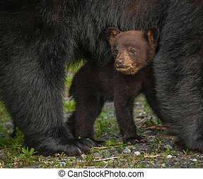 Bear Cub Under Mom - This cub was one of four cubs in the...