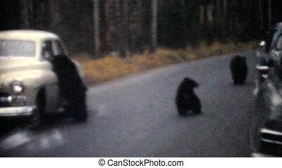 Bear Cubs Being Fed From Cars 1958 - A bunch of cute bear...