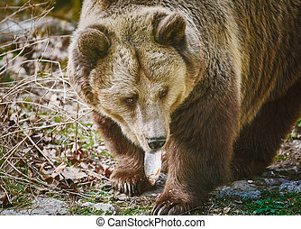 Bear Eating a Fish - Brown Bear Eats a Frech Catched Fish