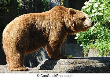 Bear eating an apple - Brown bear eating an apple