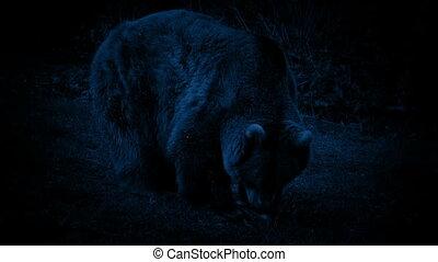 Bear Eating At Night - Bear eating in the dark