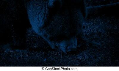 Bear Eating At Night Closeup - Bear eating meat in the dark