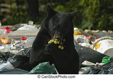 Bear eating grapes - One mans garbage, makes a tasty treat...