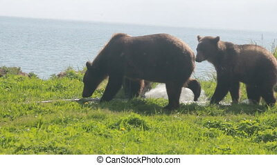 bear gnaw  water hose - Brown bear gnaw a water hose