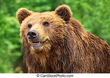 Bear grizzly in nature with green background