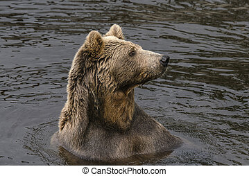 Bear in a lake with wet fur