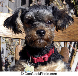 Bear in his Chair - Bear, a Yorkshire Terrier, eager for a...