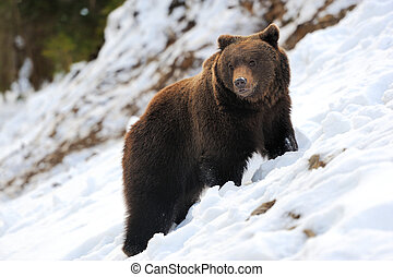 Bear in winter forest