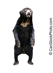 Bear isolated on white