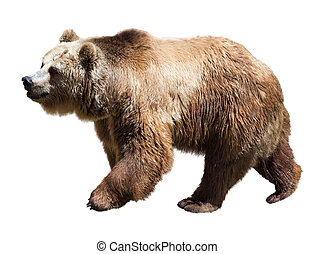 Bear. Isolated  over white