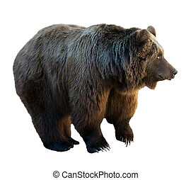 bear., isolato, sopra, bianco
