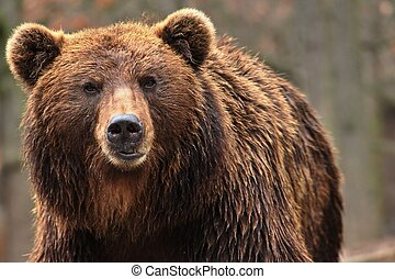 Animal from class ursine. Big brown bear in forest. Beast of prey in nature.