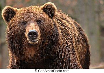 Bear kamchatkan - Animal from class ursine. Big brown bear ...