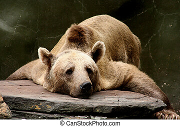 bear lazing around - Bear lazing around on a sunny afternoon